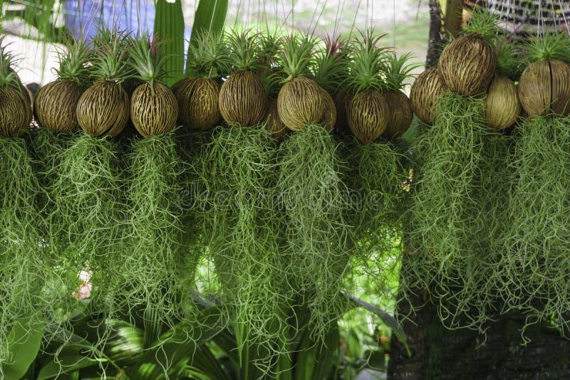 Het hangen van Spaans mos in tuinontwerp royalty-vrije stock afbeeldingen