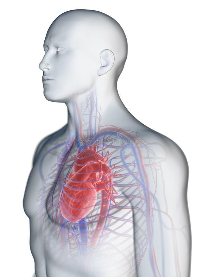 Het hart en het vasculaire systeem royalty-vrije illustratie