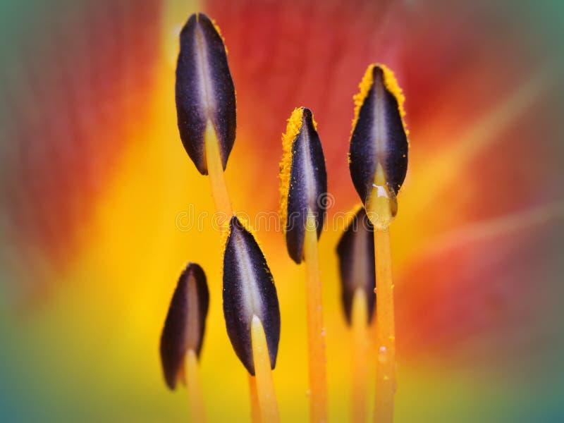 Het hart van de daglelie stamens en stuifmeel stock afbeeldingen