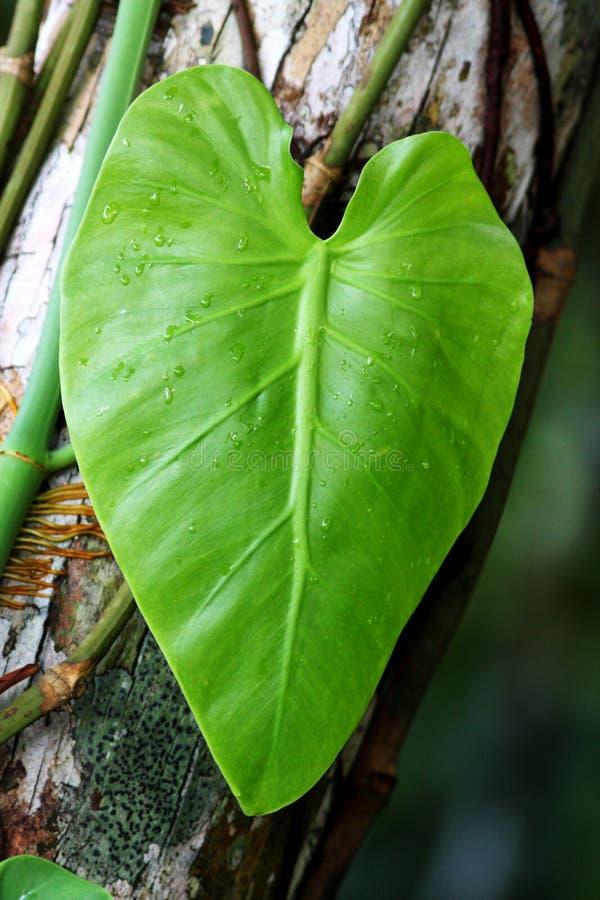 Het hart van Liana na regen stock afbeelding