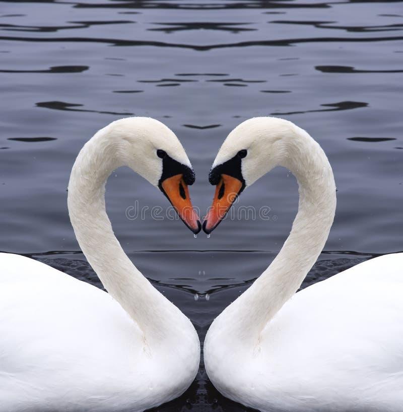 Het hart van zwanen