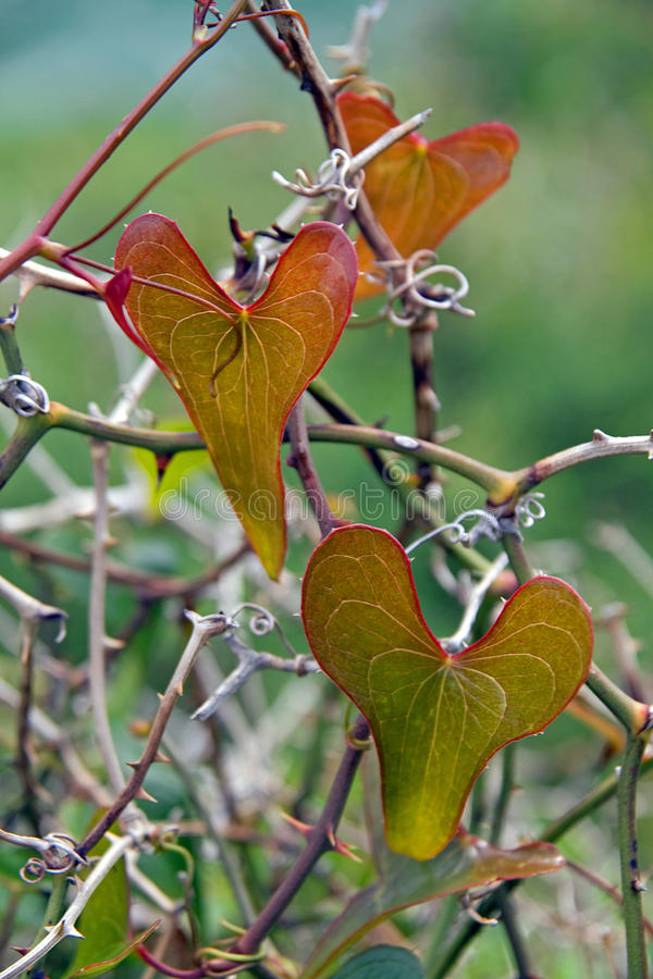 Het hart vormde bladeren op installatie royalty-vrije stock foto
