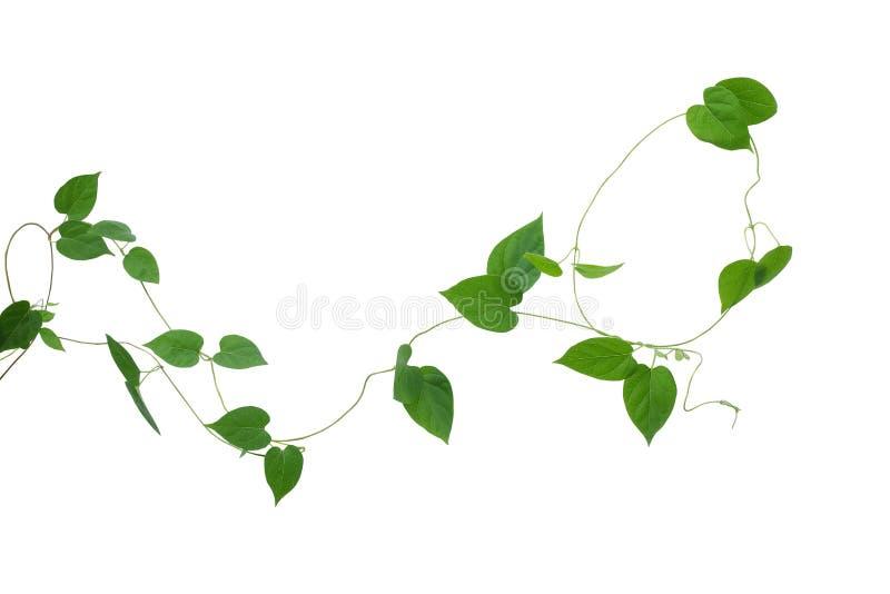Het hart vormde groene die bladerenwijnstokken op witte achtergrond, cl worden geïsoleerd royalty-vrije stock foto