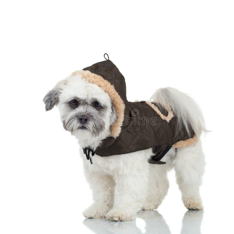 Het havanese puppy van Bichon stock afbeeldingen
