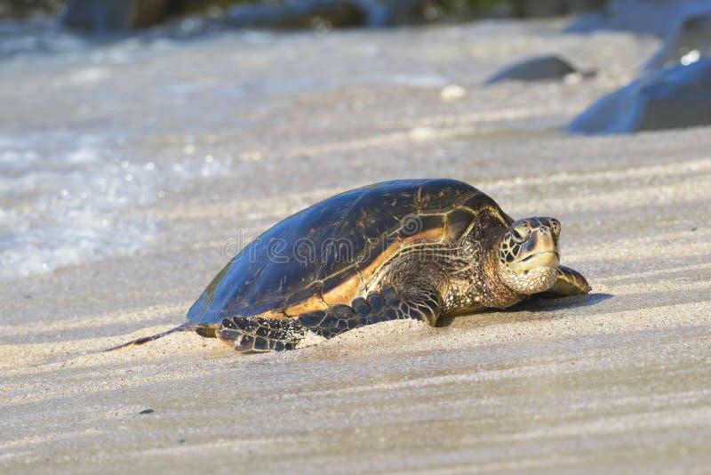 Het Hawaiiaanse Groene portret van de Oorzeeschildpad in zand en water royalty-vrije stock foto's