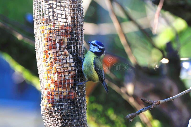 Het heel kleine Blauwe mees voeden. royalty-vrije stock afbeelding