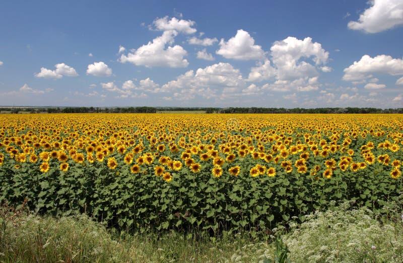Het is heel wat zonnebloemen stock foto's