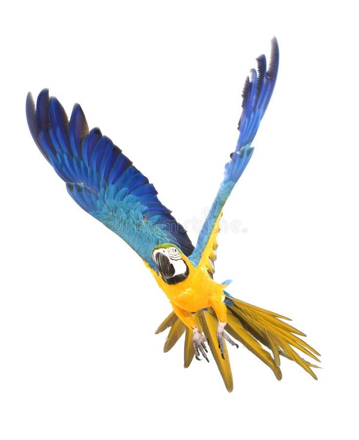 Het heldere aronskelkenpapegaai vliegen stock afbeeldingen