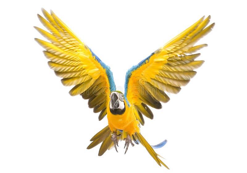 Het heldere aronskelkenpapegaai vliegen royalty-vrije stock fotografie