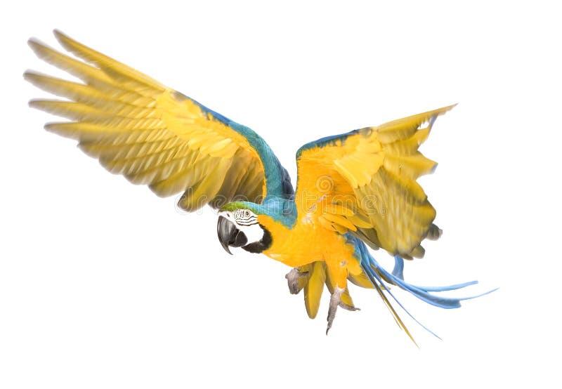Het heldere aronskelkenpapegaai vliegen royalty-vrije stock afbeelding