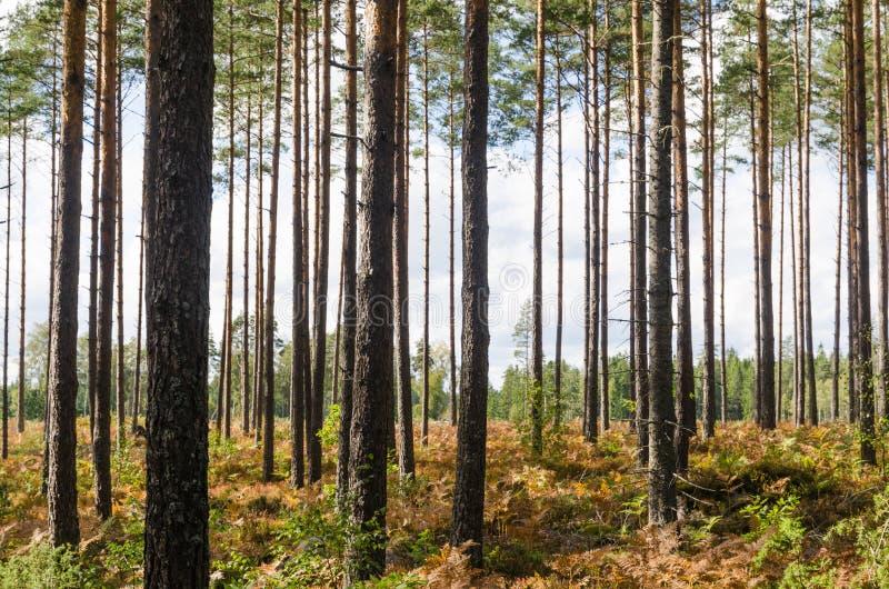 Het heldere bos van de pijnboomboom stock fotografie