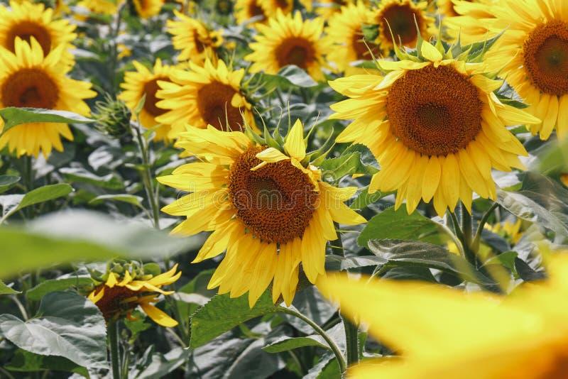 Het heldere gele gebied van de zonnebloembloem Mooi landelijk landschap in zonnige de zomerdag royalty-vrije stock afbeeldingen