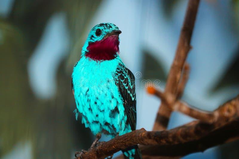 Het heldere turkoois-blauwe spangled cayanamannetje van cotingacotinga zit royalty-vrije stock foto's