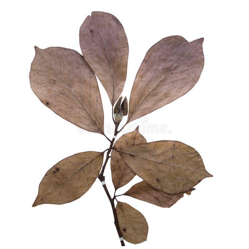 Het herbarium van de magnolia stock afbeelding