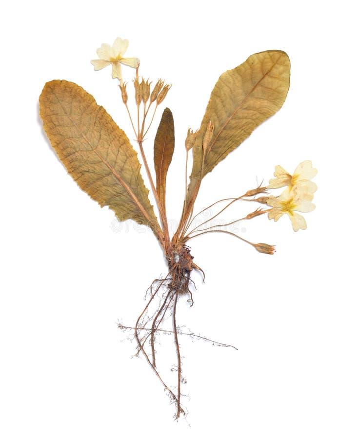 Het herbarium van Primula drukte installatie op een witte achtergrond wordt geïsoleerd die royalty-vrije stock afbeeldingen