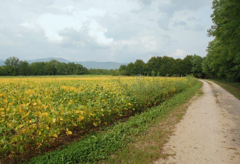 Het herfst Gebied van de Boon van de Soja stock foto's