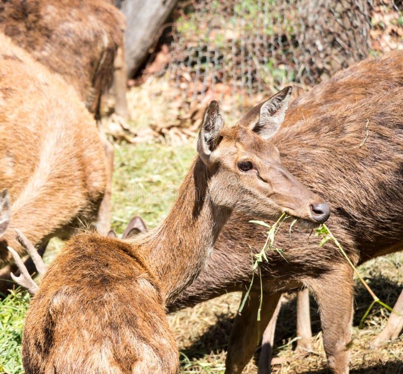 Het hert eet gras royalty-vrije stock afbeeldingen