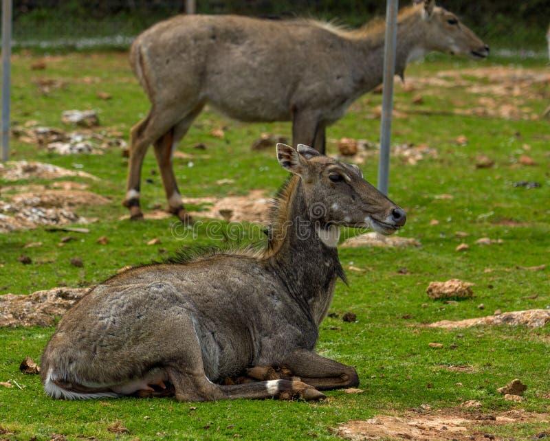 Het hert ligt op het gras stock fotografie