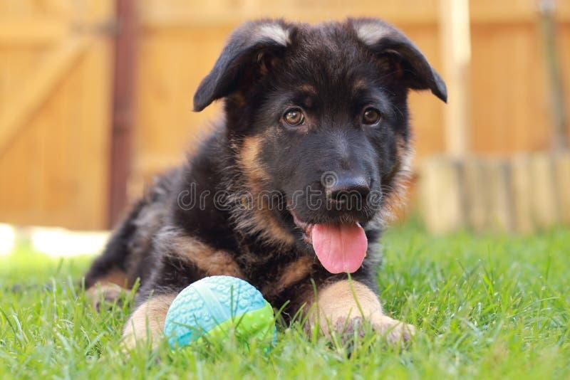 Het hijgen puppy met bal stock foto's