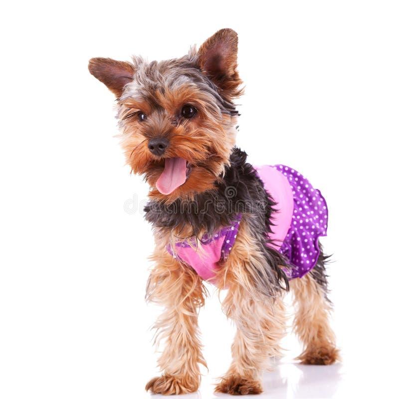 Het hijgen Yorkshire puppyhond status royalty-vrije stock afbeeldingen
