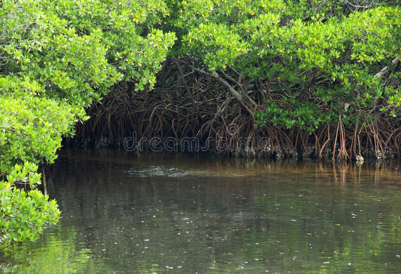 Download Het Hoekje Van Het Water Van De Mangrove Stock Foto - Afbeelding bestaande uit wortels, groen: 29513470