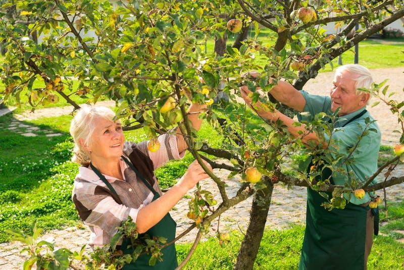 Het hogere paar plukt appelen stock afbeeldingen