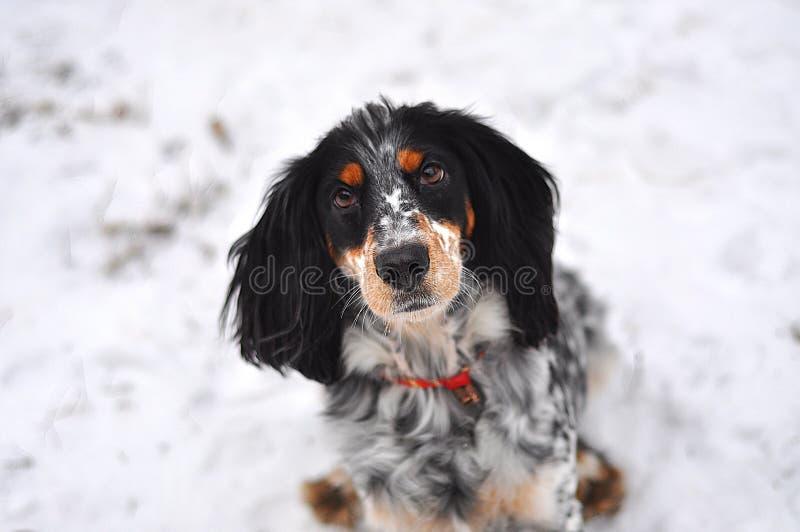 Het hond Russische spaniel stock afbeelding