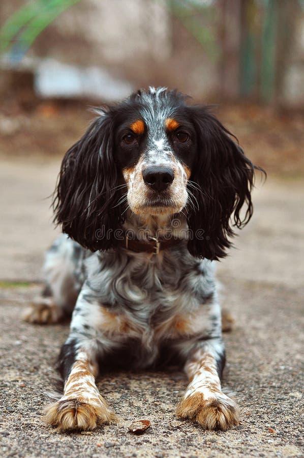 Het hond Russische spaniel royalty-vrije stock fotografie