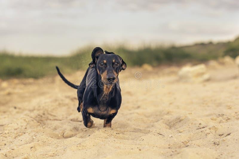 Het hondpuppy van de zwarte en tan van de rassentekkel loopt gelukkig langs het zandige strand in het midden van de groene heuvel royalty-vrije stock fotografie