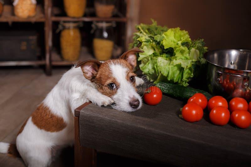 Het hondras Jack Russell Terrier en het voedsel zijn op de lijst in de keuken stock afbeelding