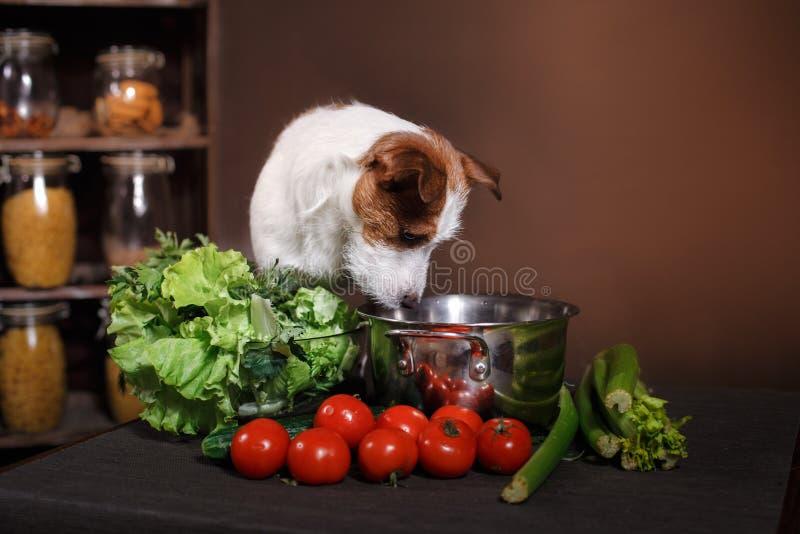 Het hondras Jack Russell Terrier en het voedsel zijn op de lijst in de keuken stock fotografie