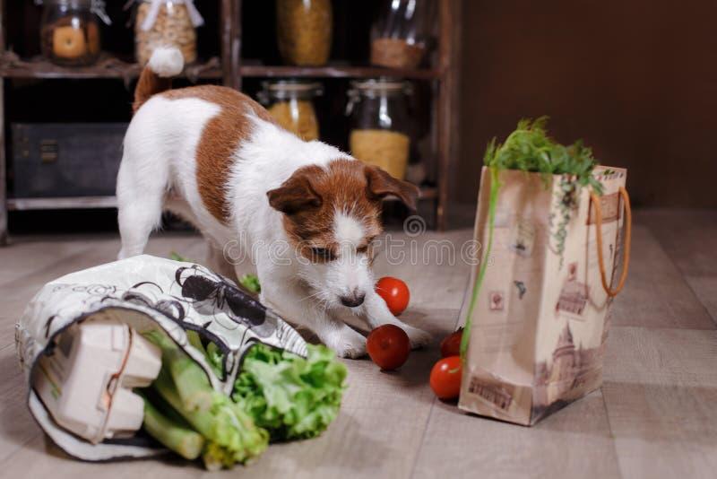 Het hondras Jack Russell Terrier en het voedsel zijn op de vloer in de keuken stock afbeeldingen