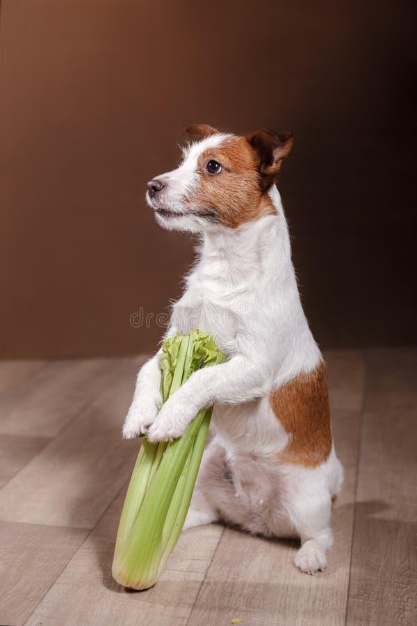 Het hondras Jack Russell Terrier en het voedsel zijn op de vloer in de keuken royalty-vrije stock fotografie