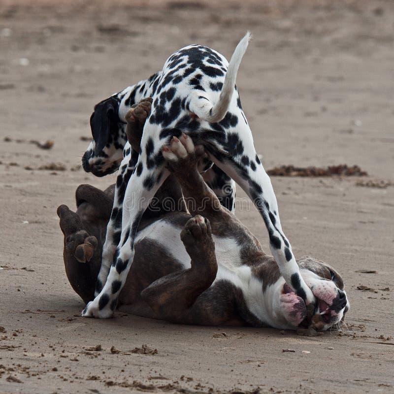 Het hondstrand royalty-vrije stock afbeeldingen