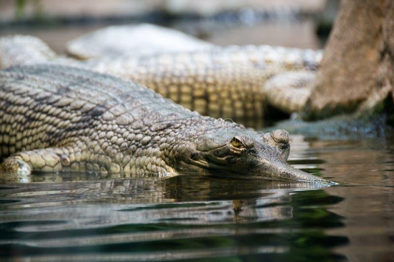 Het hongerige krokodil staren stock afbeeldingen