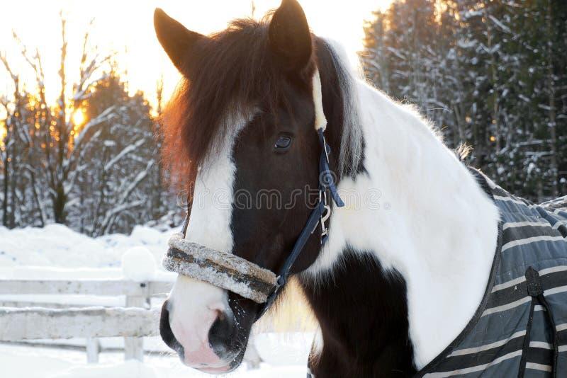 Het hoofd is de gevlekte paardwinter bij zonsondergang royalty-vrije stock afbeeldingen