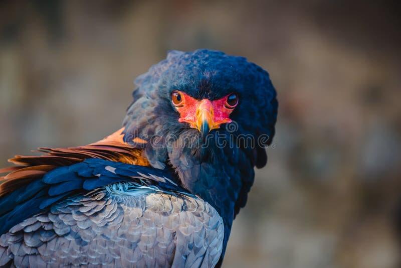 Het hoofd van Bateleureagle en schoudersprofiel Een dichte omhooggaande mening van een mooie bateleuradelaar royalty-vrije stock foto