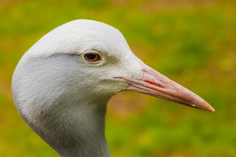 Het hoofd van de Aziatische witte veren van de kraanvogel sluit omhoog royalty-vrije stock fotografie