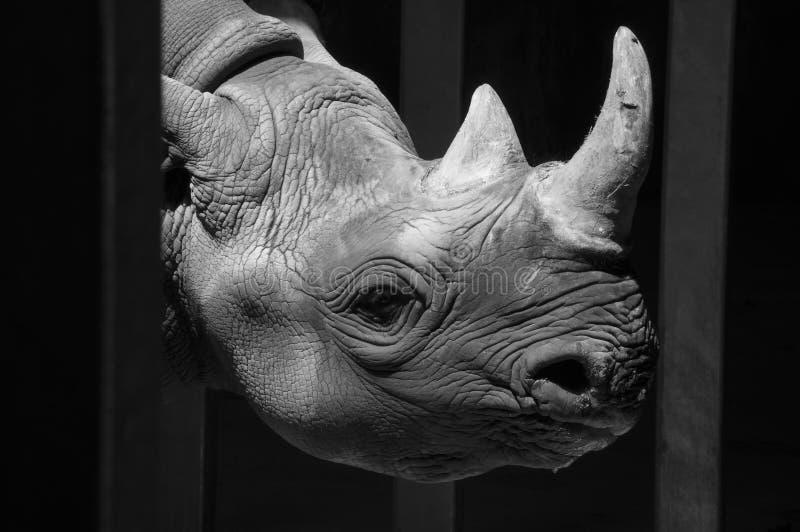 Het hoofd van de babyrinoceros onder een sterk Licht royalty-vrije stock foto