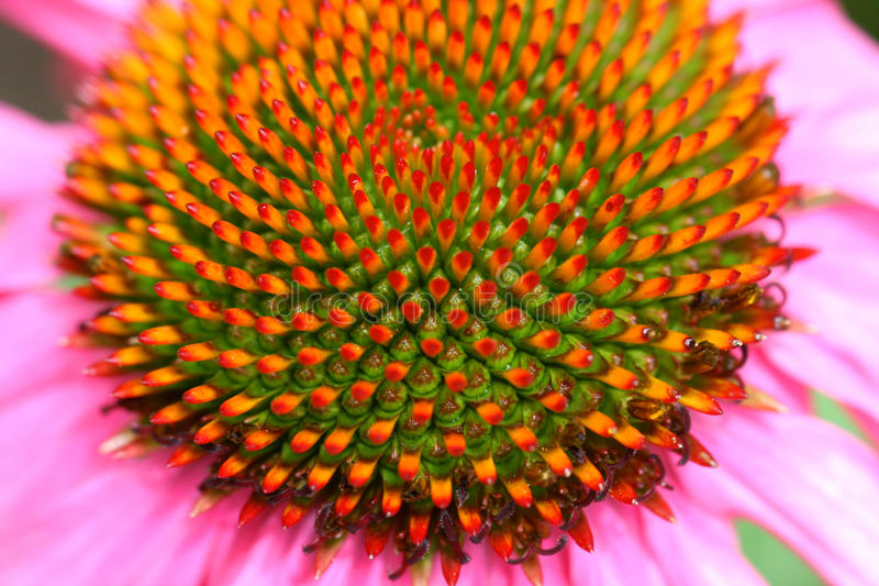 Het hoofd van de bloem stock afbeelding