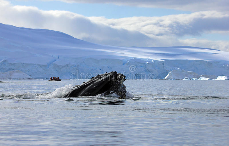 Het hoofd van de gebocheldewalvis royalty-vrije stock foto's