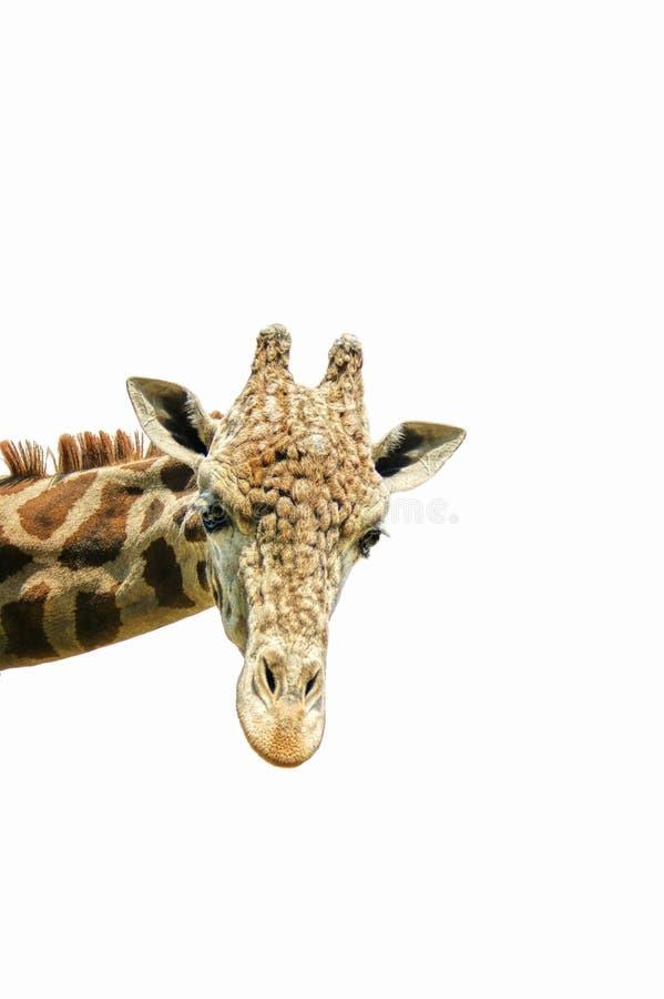 Het hoofd van de giraf stock afbeeldingen