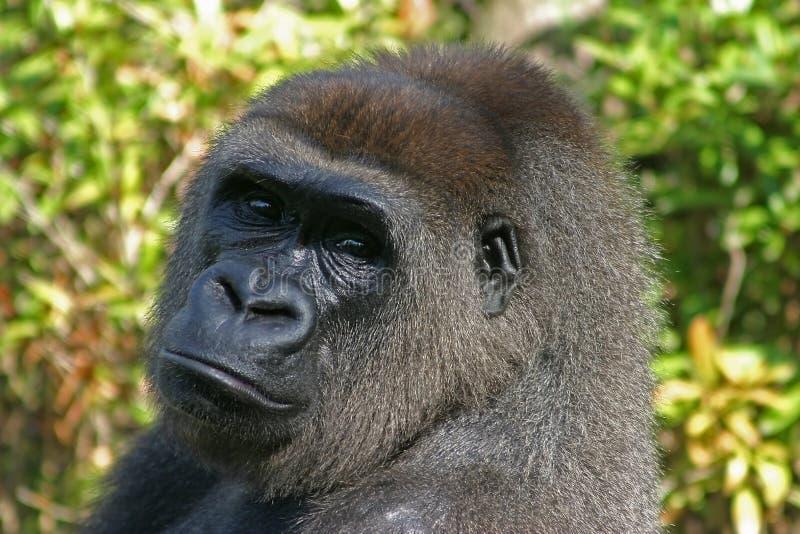 Het hoofd van de gorilla stock foto