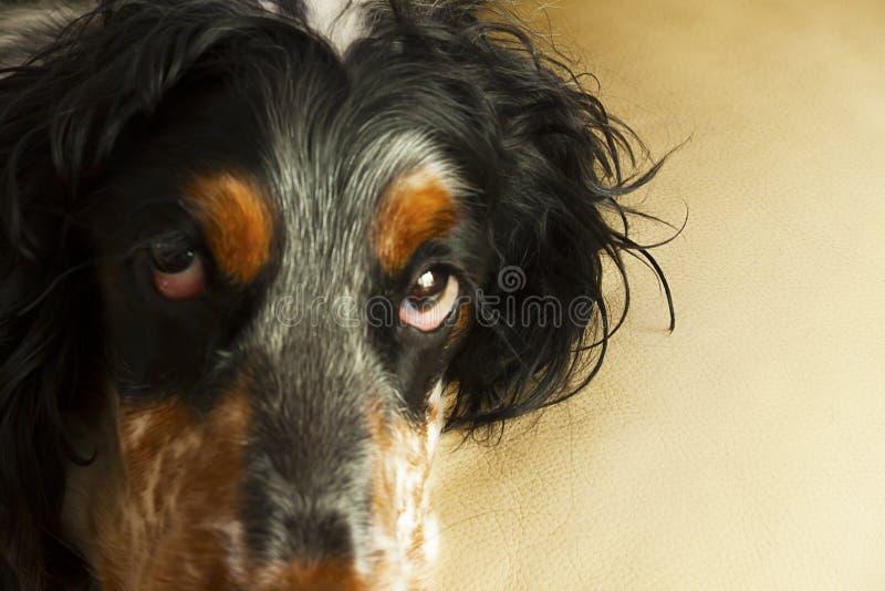 Het hoofd van de hond met expressieve ogen stock afbeeldingen