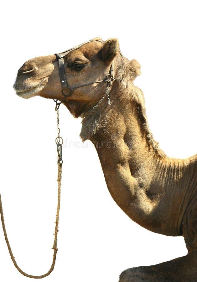 Het hoofd van de kameel op wit royalty-vrije stock fotografie