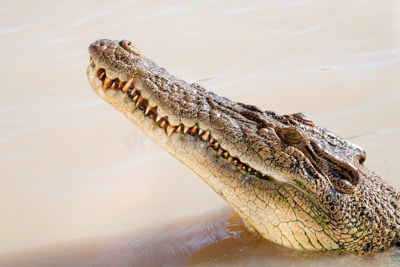 Het hoofd van de krokodil royalty-vrije stock foto's