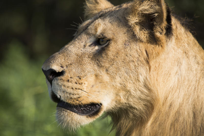 Het Hoofd van de leeuw royalty-vrije stock fotografie