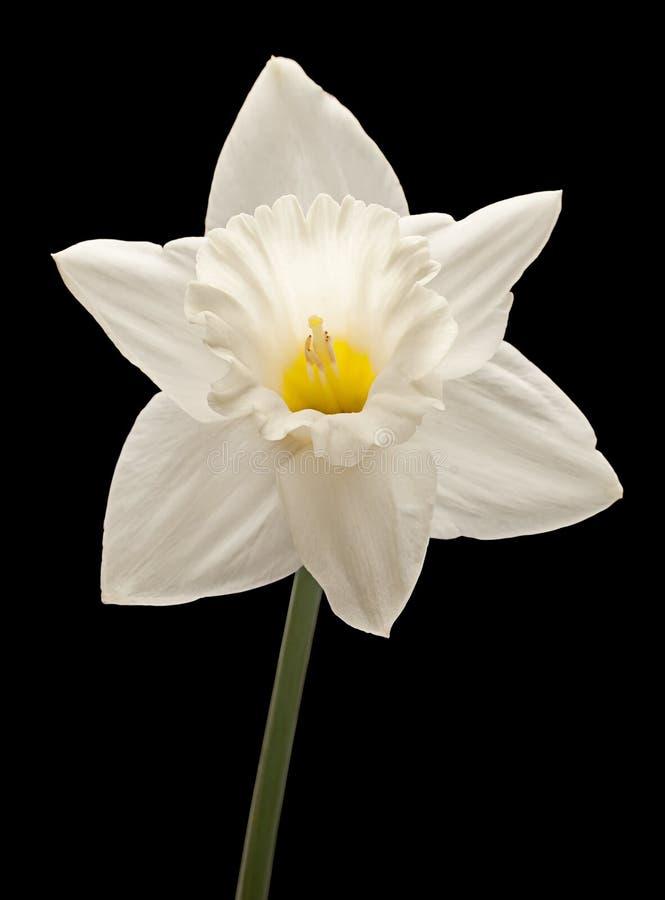 Het hoofd van de narcissenbloem royalty-vrije stock afbeeldingen