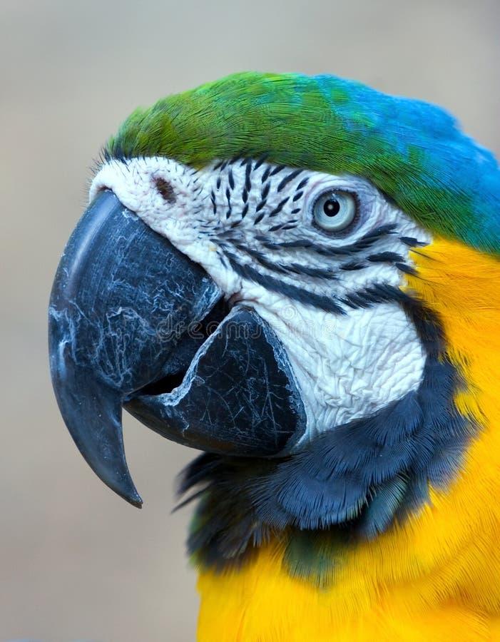 Het Hoofd van de papegaai stock afbeeldingen