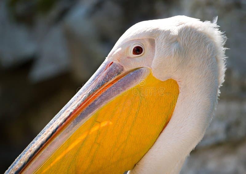 Het hoofd van de pelikaan stock afbeeldingen
